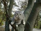 Опытный шотландский вислоухий кот для вязки
